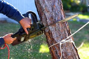 Diy tree removal sunart oakwoods your 3rd cut is called a back reduced and also is must be made on the opposite side of your wedge cut this cut will make the tree tip over on the solutioingenieria Choice Image
